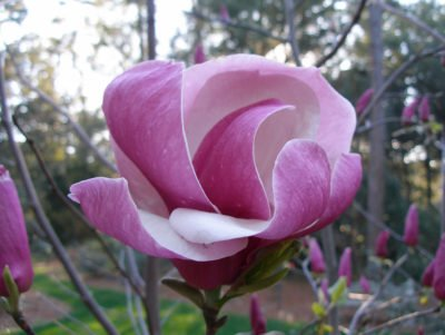 Blooming Magnolia in Windsor Great Park 17