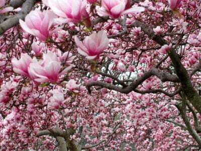 Blooming Magnolia in Windsor Great Park