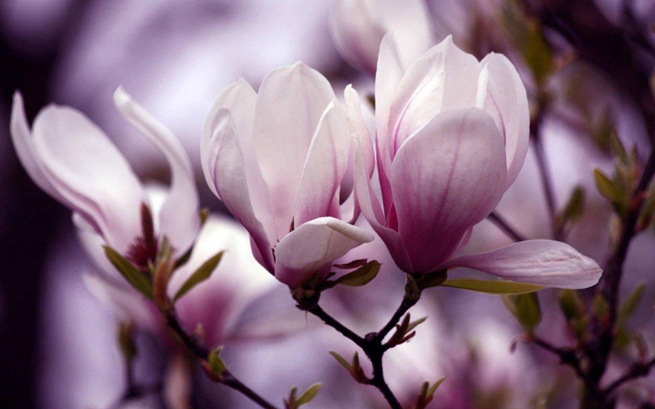 gardenia magnolia wallpaper - photo #14