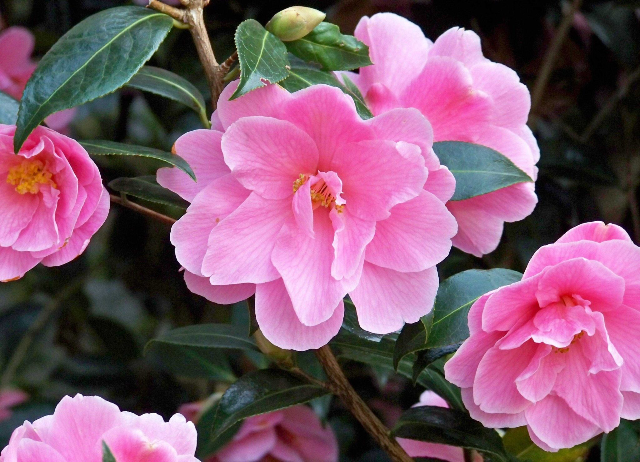 camelia fragrance scent windsor london chiswick
