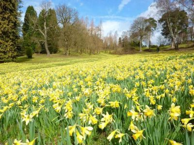 Have you ever wondered what Daffodils smell like?