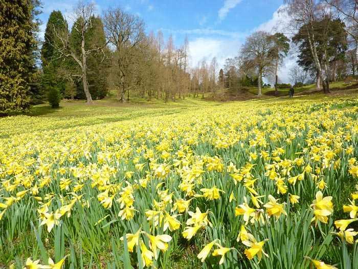 Pairfum London Perfume Blooming Daffodils in Great Windsor Park Yellow