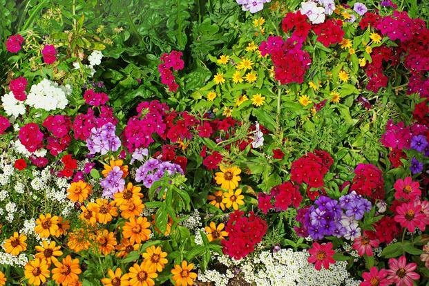 Flowers losing fragrance due to global warming petunia