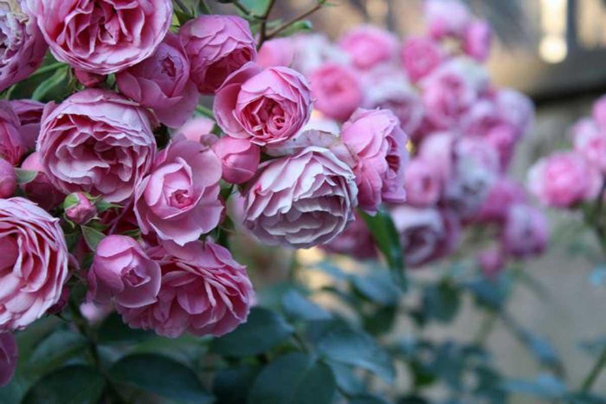 двухлетняя бурбонские розы фото сначала