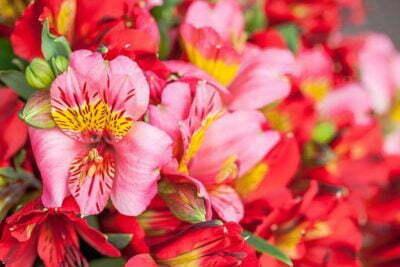 British Flower Week - Day Five - Alstromeria