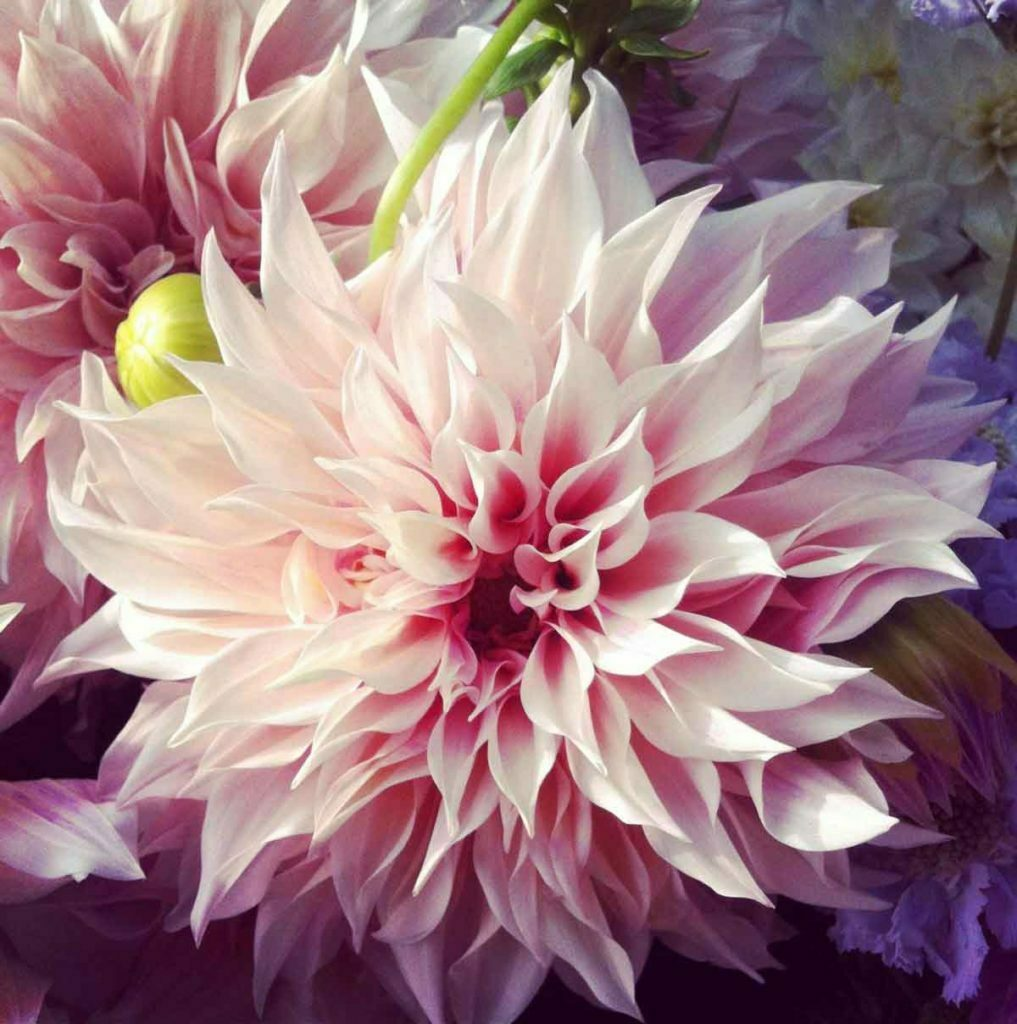 Pairfum reed diffuser british flower week dahlia