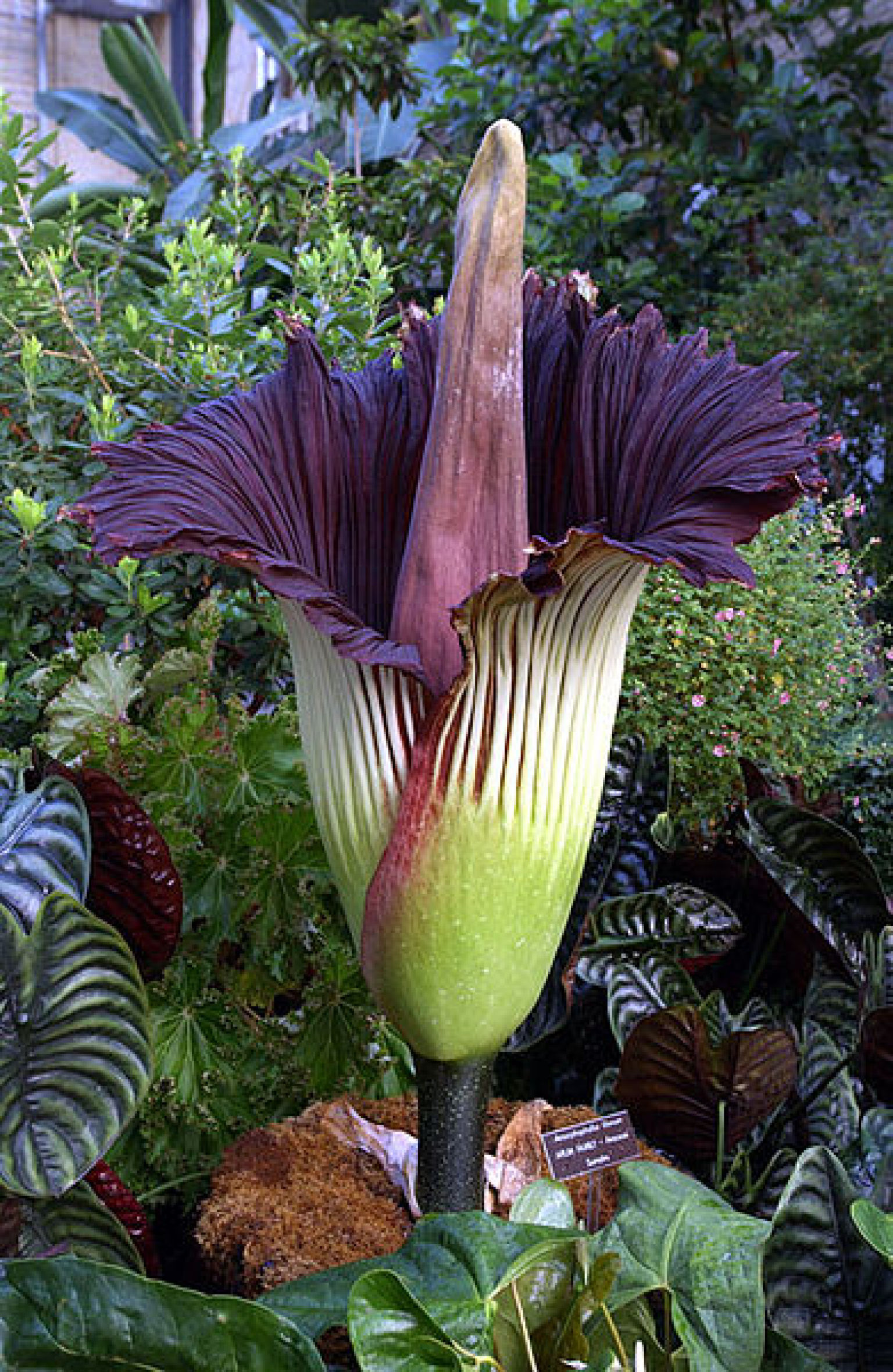 Top 10 World's Worst Smells Corpse Flower