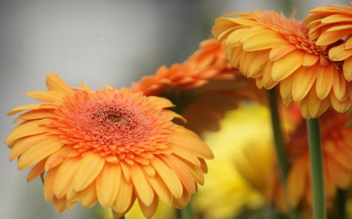 house-plant-clean-air-home-gerbera