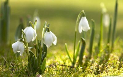 What is the Fragrance of Snowdrops?
