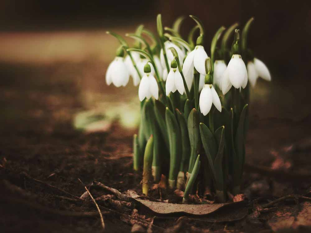 Spring Fragrance of Snowdrops Forest