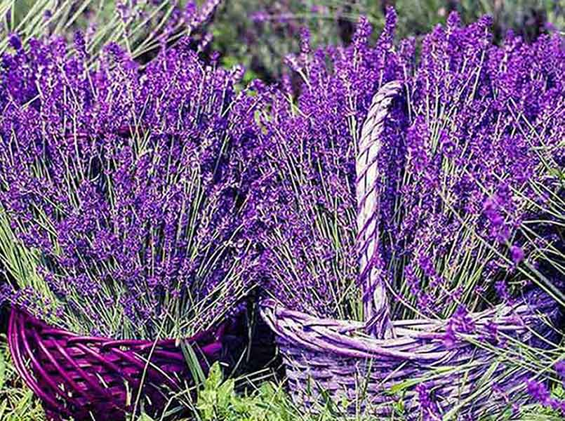 Fragrance Lavender Basket Essential Oil