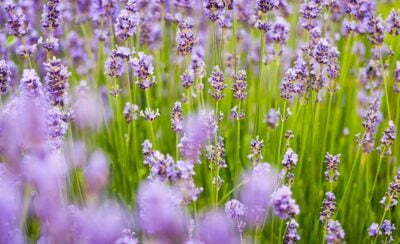 Lavender Flower Fragrance Green Outdoor