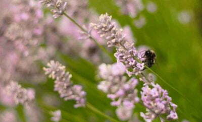 Pink Lavender Fragrance Bee
