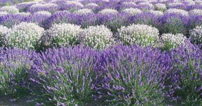 Purple White Lavender Field Scent