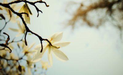 White Magnolia Blossom Sky Perfume