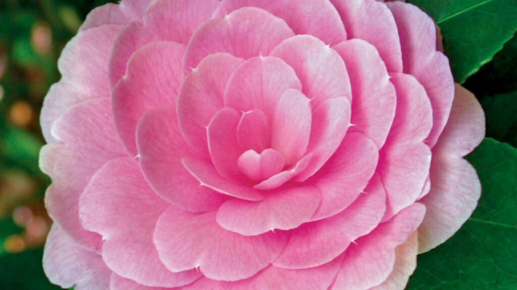 Camellia Pink Bloom Petal Fragrance Scent