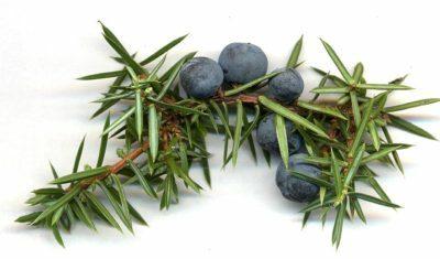 Juniperus Berrys Communis Cones