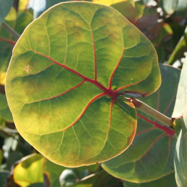Coccoloba Uvifera Canopy Infusion Green Leaf Diffuser
