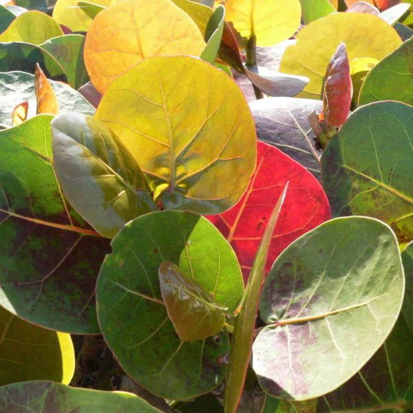 Coccoloba Uvifera Canopy Infusion Yellow Leaf Diffuser