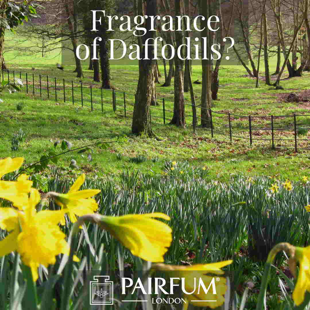 Scent Of Daffodils Windsor Great Park