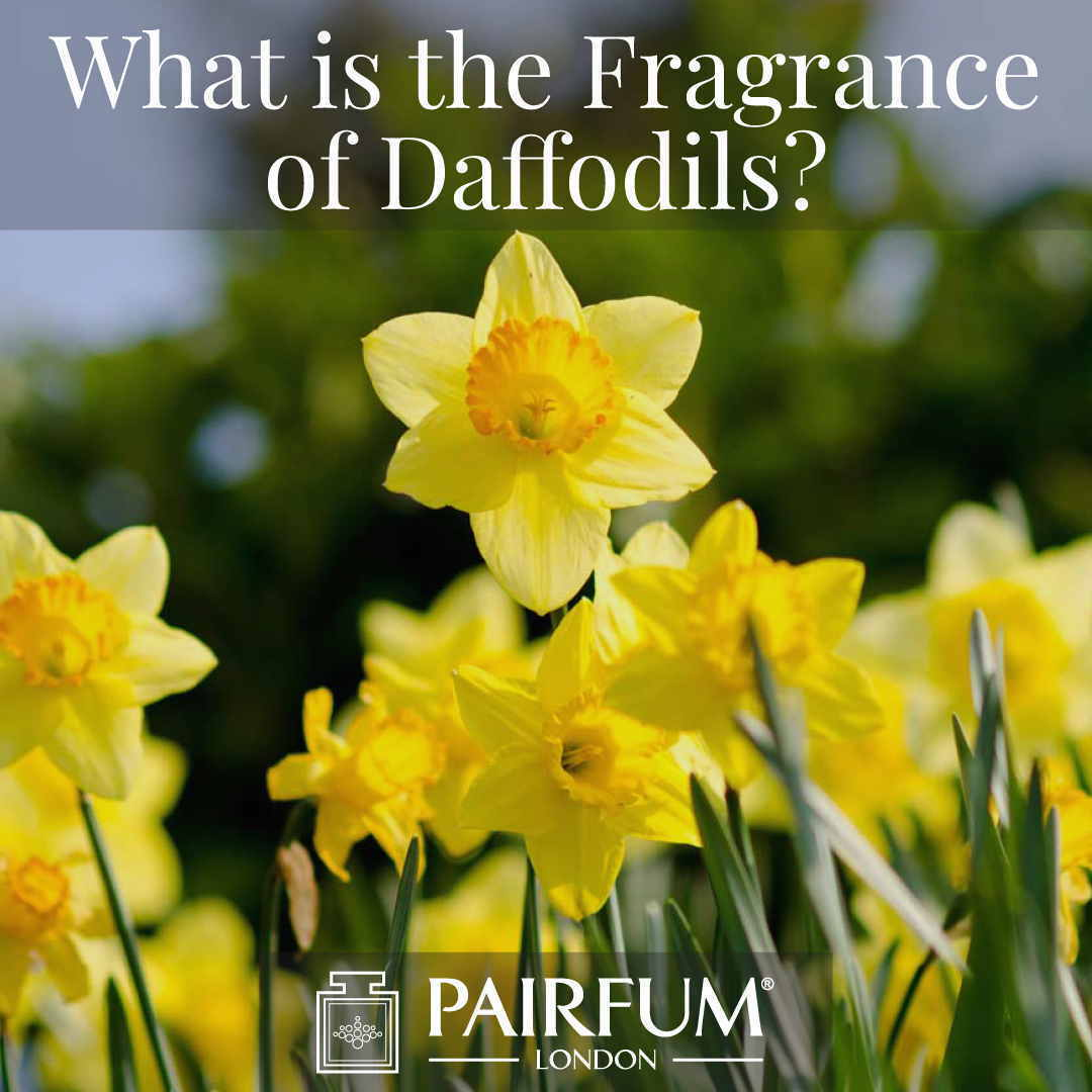Do Daffodils Have A Fragrance