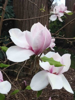 Fragrance Ingredient Natural Essential Oil Magnolia Bloom Windsor Park163134