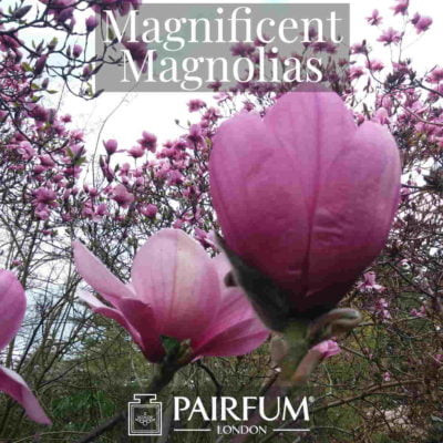Magnificent Magnolias Perfumery Windsor Park