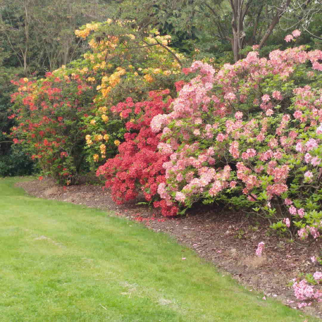 Rhododendron Azalea Windsor Park Fragrance Intoxicating Walk Rhododendron Pruning