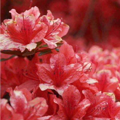 Rhododendron Azalea Windsor Park Fragrance Intoxicating Walk 66