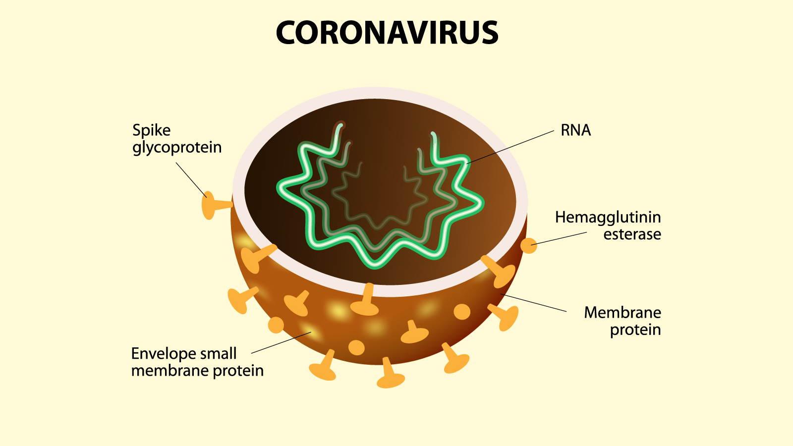 Pairfum Infographic Coronavirus Membrane Inside