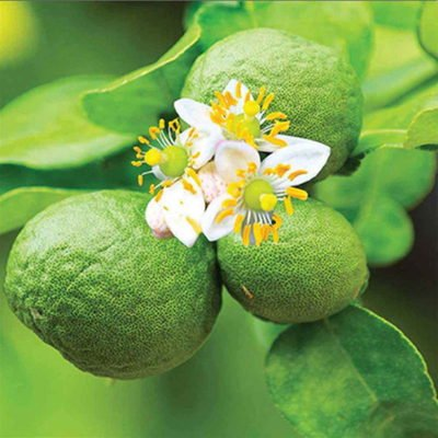 Citrus Fruit Bergamot Essential Oil Fragrance 6
