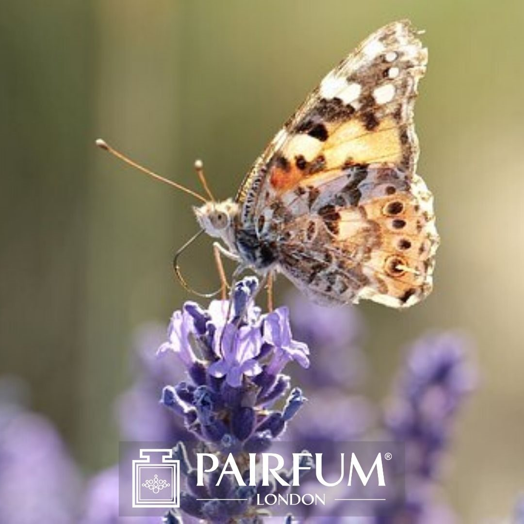 PERFUME TREND BUTTERFLY ON LAVENDER FLOWER