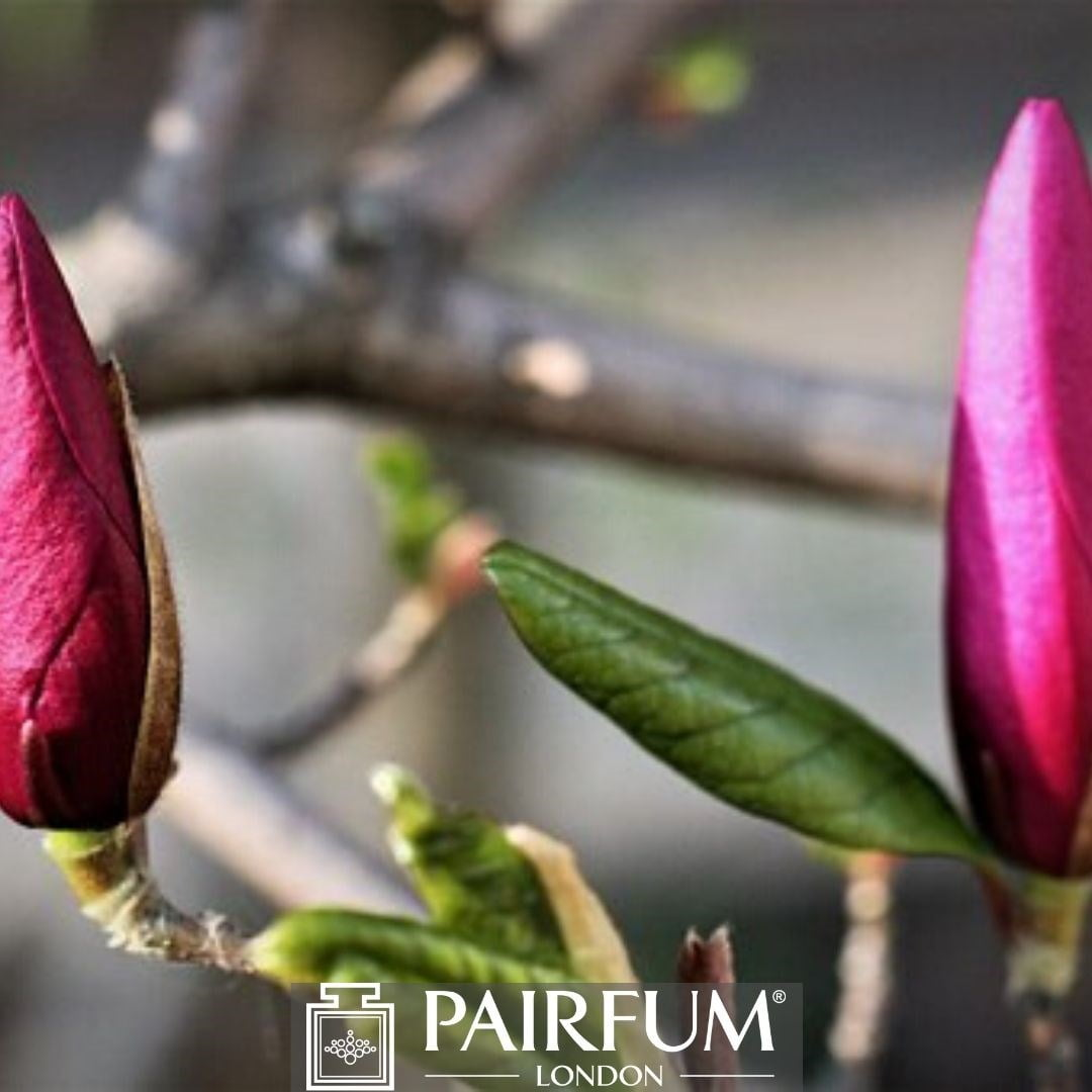 PINK MAGNOLIA FLOWER BUDS