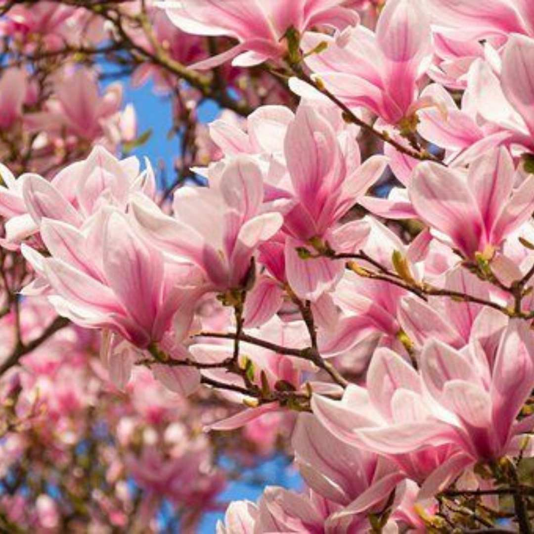 Magnolias are some of the most primitive of our flowering trees