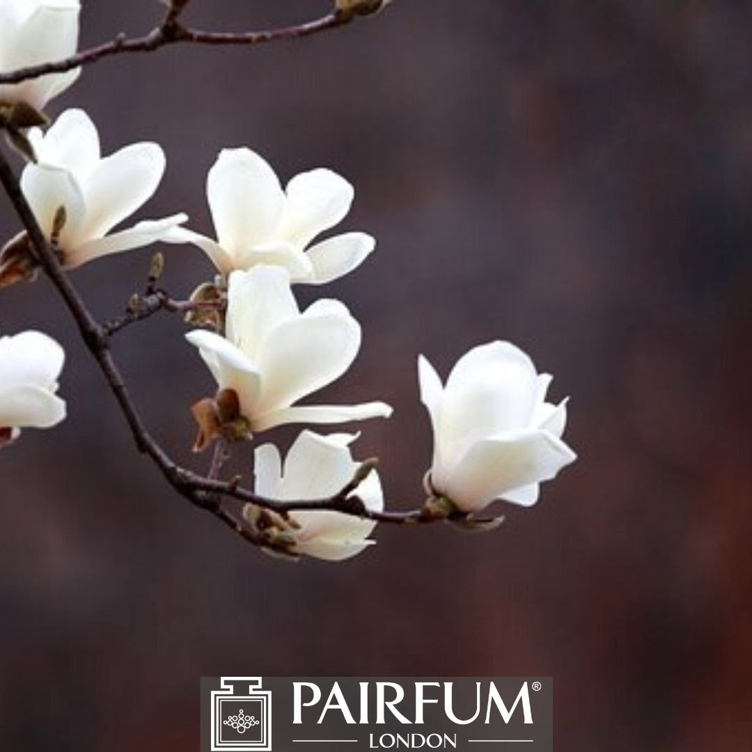 WHITE MAGNOLIA IN BLOOM ON A BRANCH