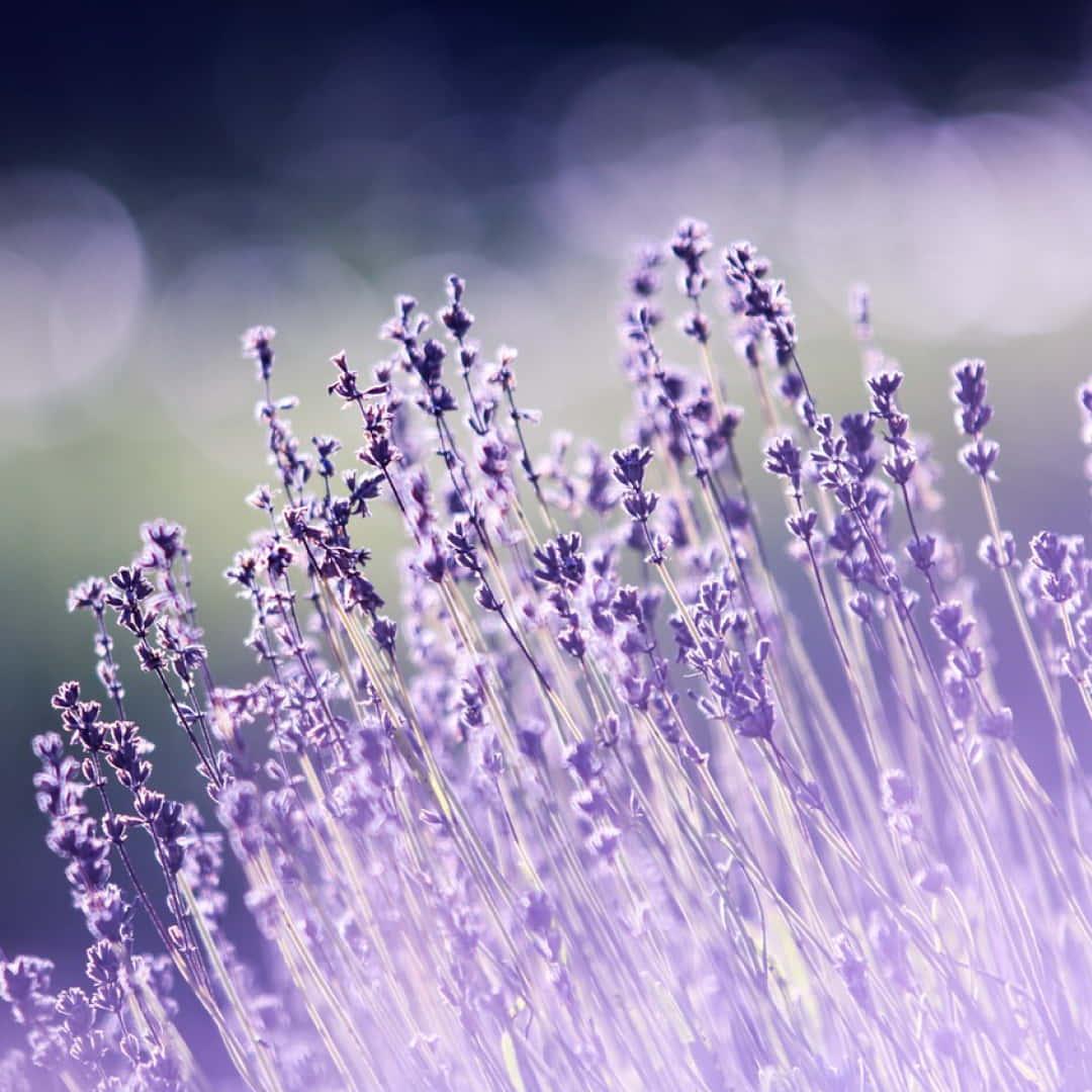 Lavender Perfume Light 1 1