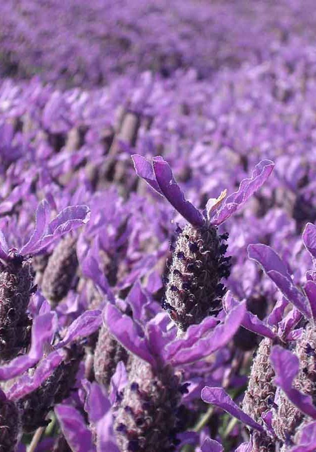 Field Lavender Sun Fragrance Oil