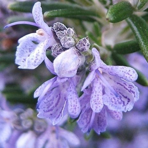 Photo Gallery Fragrance Ingredients herb flowering rosmarinus natural
