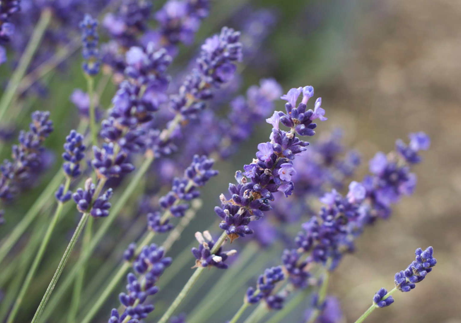 Pairfum London Natural Lavender Fragrance OIl Aromatic