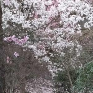 Blooming Magnolia in Windsor Great Park