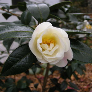 Blooming Camellias in London