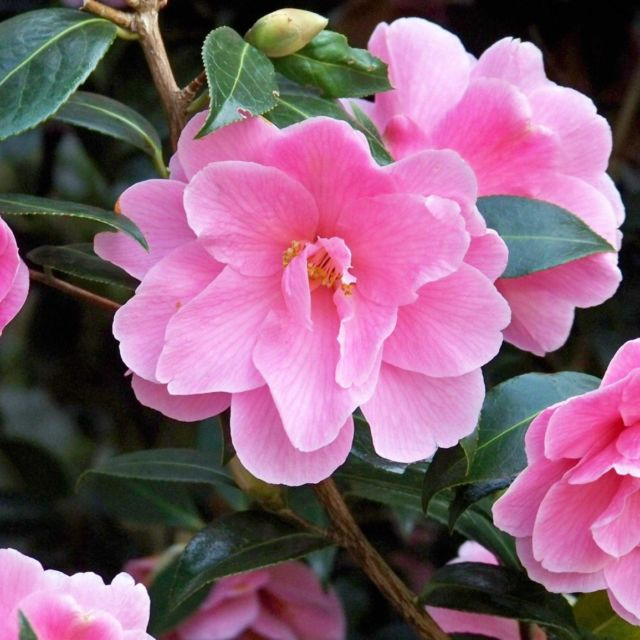 camelia fragrance scent windsor london chiswick