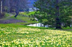 Do Daffodils have a Fragrance ?
