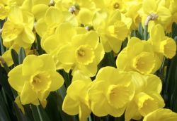 Do Daffodils have a fragrance: luxury scented candles, natural / organic reed diffusers and refill oils, room perfume sprays