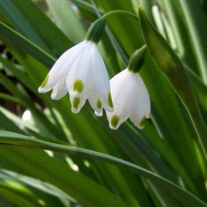 Britain Snowdrop Green Fresh Fragrance