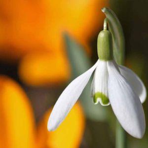Flower Snowdrop Spring Light Scent