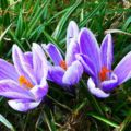 Forest Crocus Fragrance Purple Green