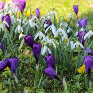 Spring Snowdrop Crocus Perfume Grass Green