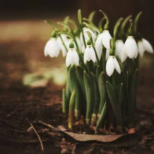 Spring Snowdrops Forest Fragrance