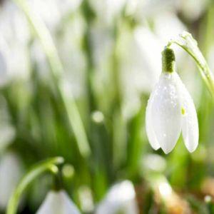 Sunlight Snowdrop Scent Clean Green Floral
